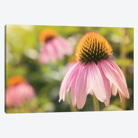 Echinacea Study I Canvas Print #JJO23} by Jason Johnson Canvas Print