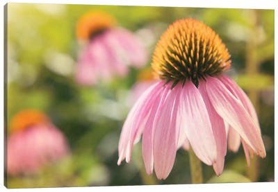Echinacea Study I Canvas Art Print