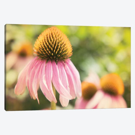 Echinacea Study II Canvas Print #JJO24} by Jason Johnson Canvas Wall Art