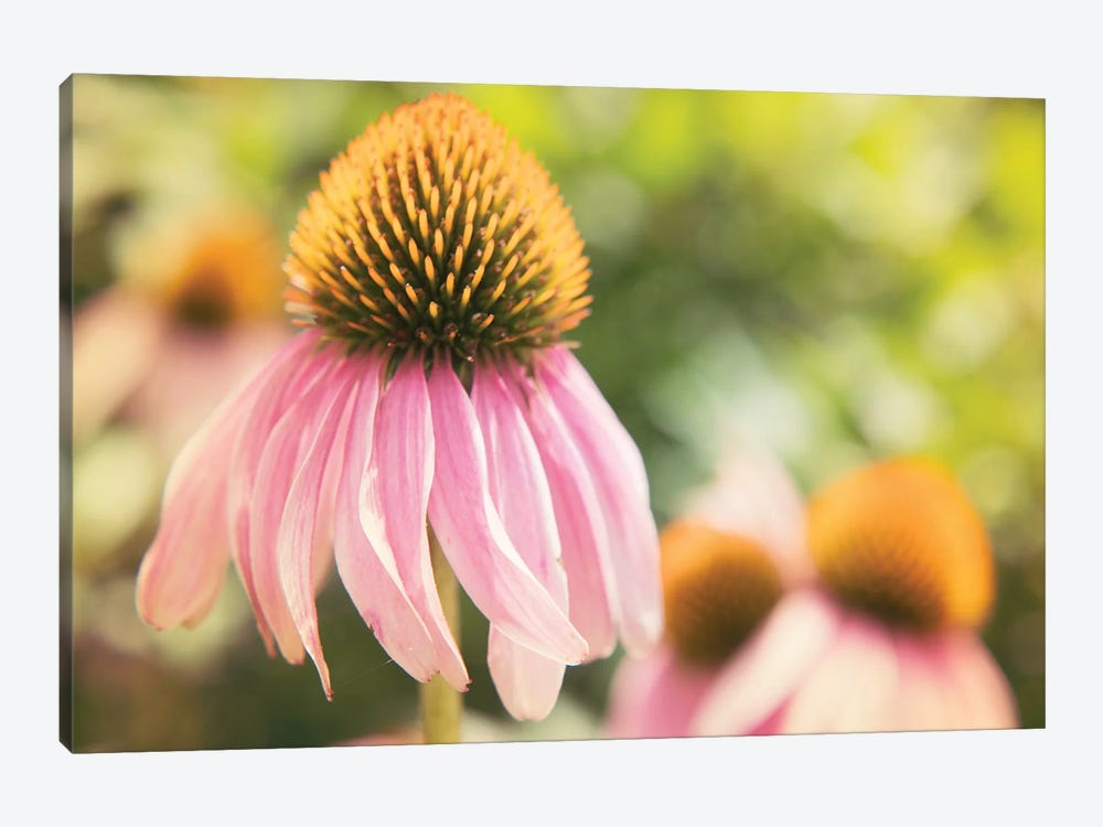 Echinacea Study II by Jason Johnson 1-piece Canvas Art