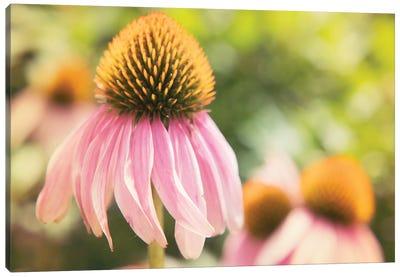 Echinacea Study II Canvas Art Print