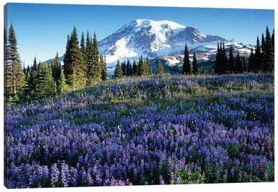 Snow-Covered Mount Rainier With A Wildflower Field In The Foreground, Mount Rainier National Park, Washington, USA Canvas Art Print