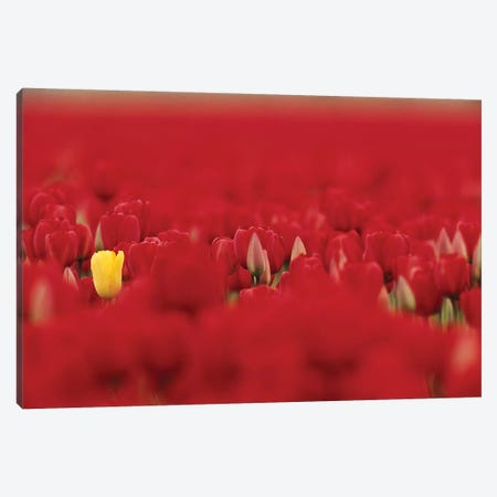 Lone Yellow Tulip In A Sea Of Red Tulips, Skagit Valley, Washington, USA Canvas Print #JJW19} by Jamie & Judy Wild Canvas Artwork
