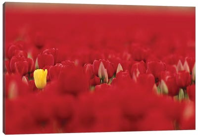 Lone Yellow Tulip In A Sea Of Red Tulips, Skagit Valley, Washington, USA Canvas Art Print