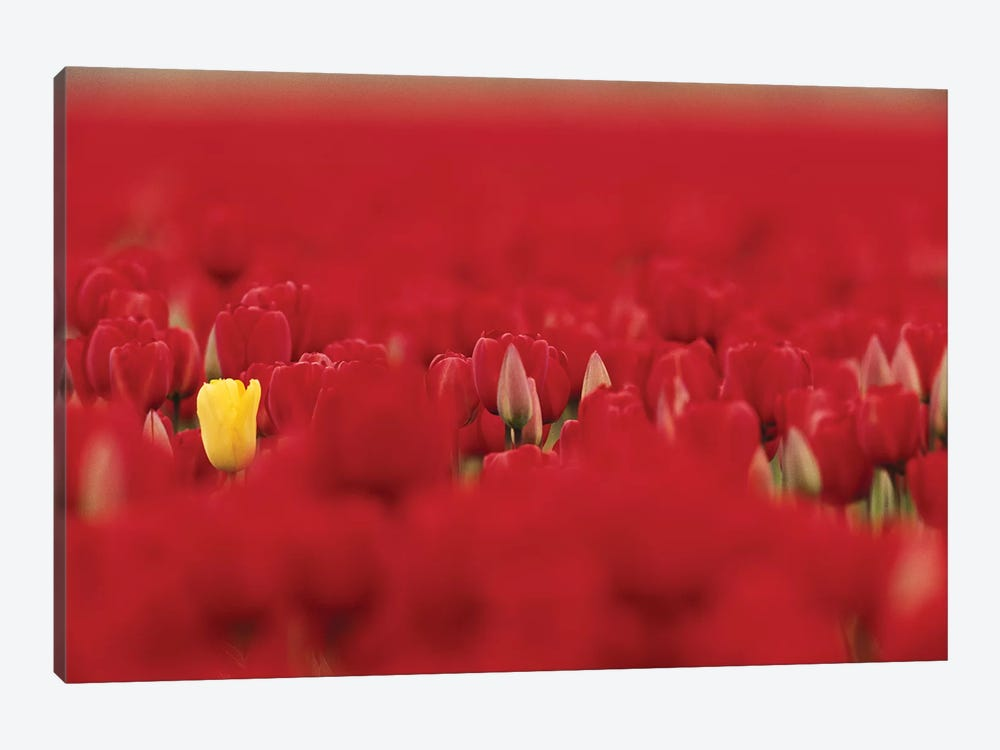 Lone Yellow Tulip In A Sea Of Red Tulips, Skagit Valley, Washington, USA by Jamie & Judy Wild 1-piece Canvas Art