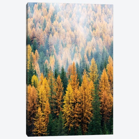 Montana, Lolo National Forest, golden larch trees in fog I Canvas Print #JJW29} by Jamie & Judy Wild Canvas Art Print