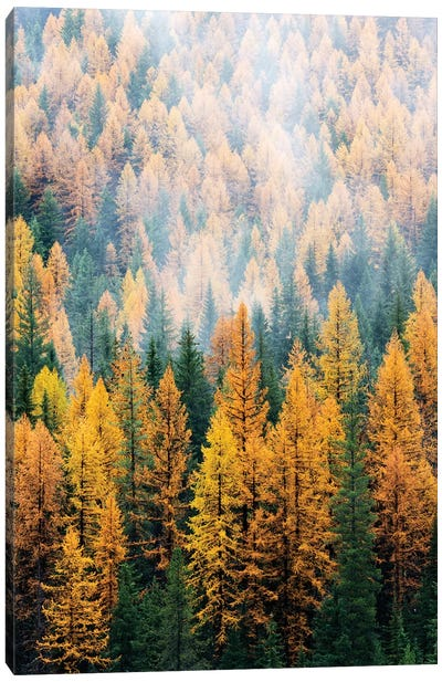 Montana, Lolo National Forest, golden larch trees in fog I Canvas Art Print