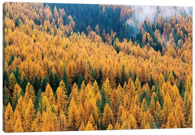 Montana, Lolo National Forest, golden larch trees in fog II Canvas Art Print