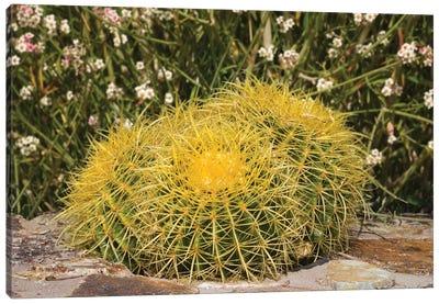 USA, Arizona, Golden Barrel Cactus Canvas Art Print