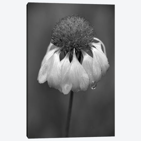 USA, Washington State, Redmond. Firewheel or Indian blanket, sunflower family. Canvas Print #JJW58} by Jamie & Judy Wild Canvas Artwork