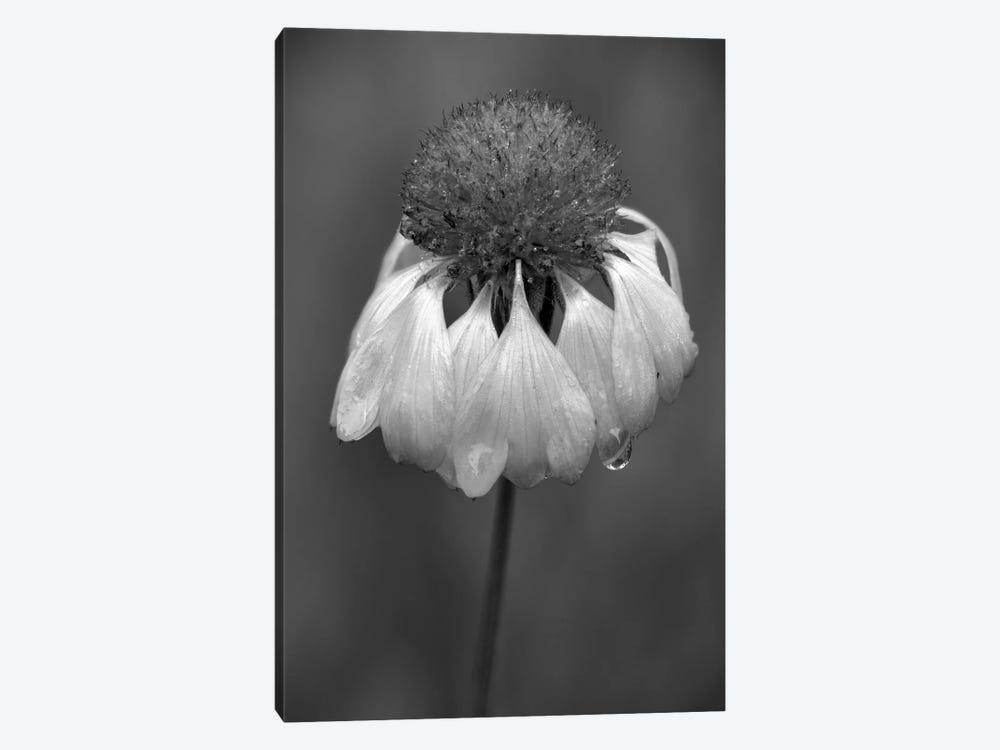 USA, Washington State, Redmond. Firewheel or Indian blanket, sunflower family. by Jamie & Judy Wild 1-piece Art Print