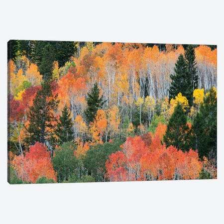 Colorful Autumn Landscape, Wasatch-Cache National Forest, Utah, USA Canvas Print #JJW9} by Jamie & Judy Wild Art Print