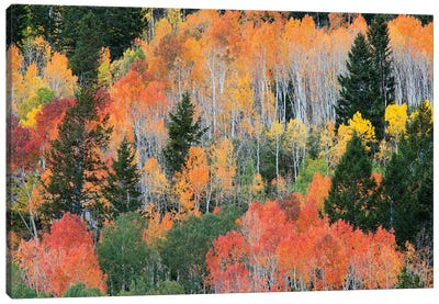 Colorful Autumn Landscape, Wasatch-Cache National Forest, Utah, USA Canvas Art Print