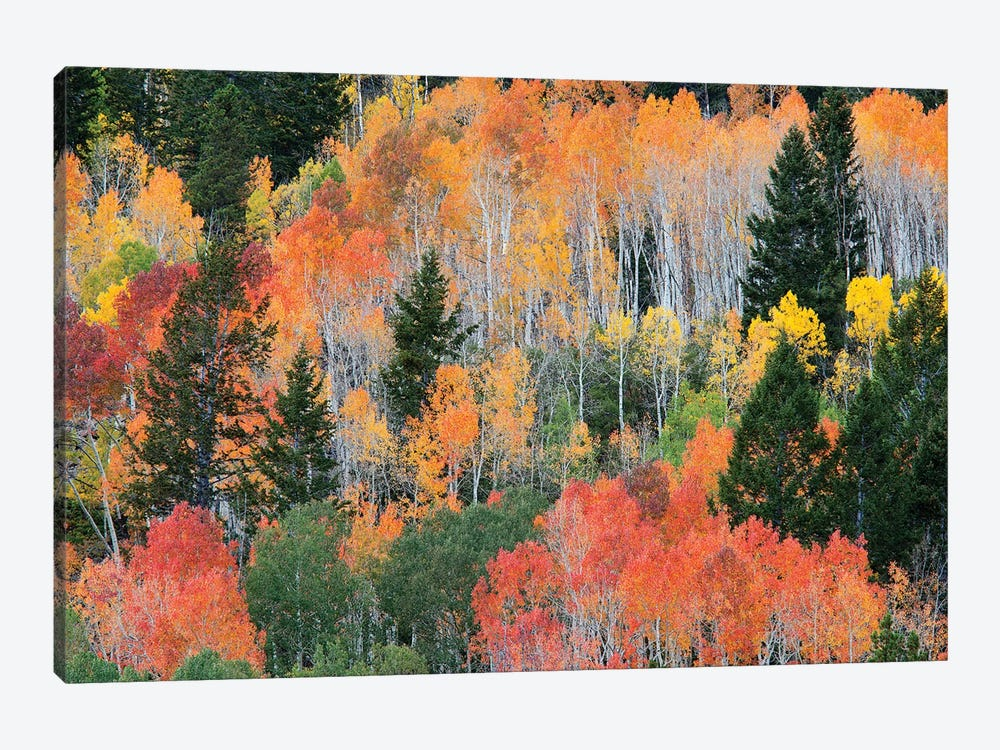 Colorful Autumn Landscape, Wasatch-Cache National Forest, Utah, USA 1-piece Canvas Wall Art
