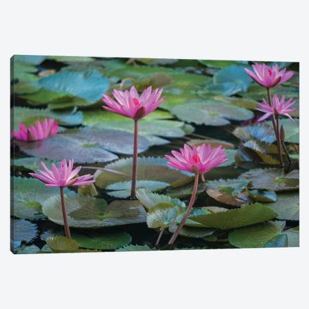Vietnam, Mui Ne. Pink water lilies. Canvas Print #JLM6} by Merrill Images Canvas Art Print