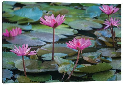 Vietnam, Mui Ne. Pink water lilies. Canvas Art Print