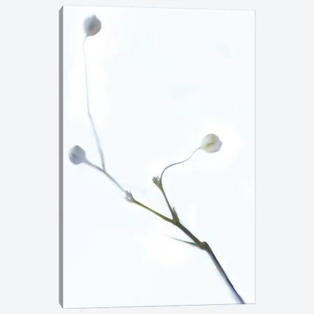 White Buds I Canvas Print #JML121} by James McLoughlin Canvas Print