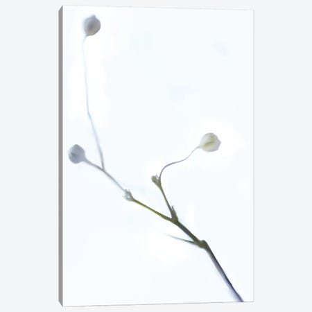 White Buds I Canvas Print #JML121} by James McLoughlin Canvas Print