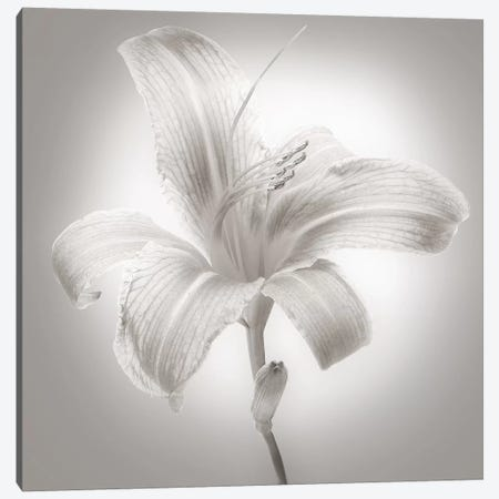 Tiger Lily I Canvas Print #JML17} by James McLoughlin Art Print