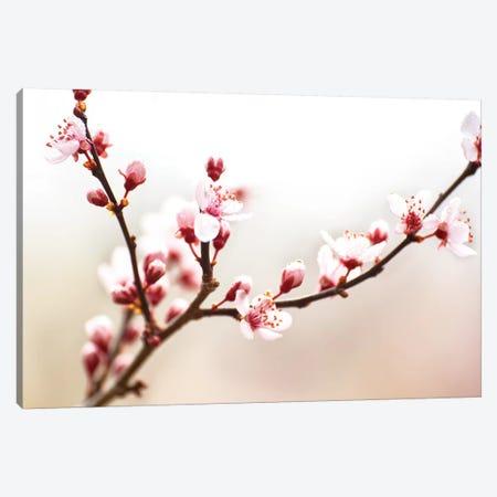 Cherry Blossom Study I 3-Piece Canvas #JML91} by James McLoughlin Canvas Artwork