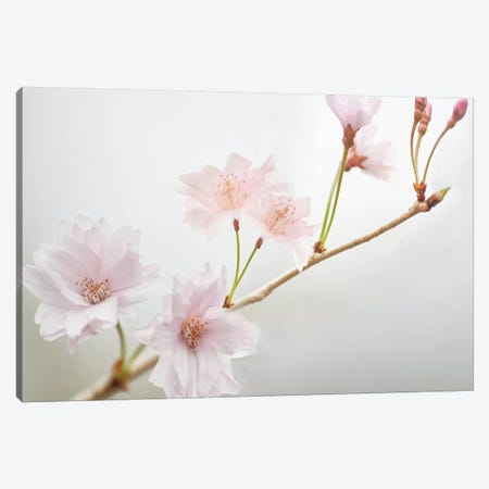 Cherry Blossom Study II Canvas Print #JML92} by James McLoughlin Canvas Wall Art