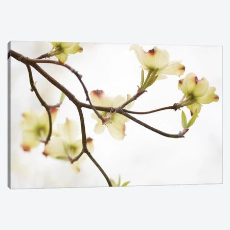 Dogwood Detail I Canvas Print #JML97} by James McLoughlin Art Print