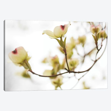 Dogwood Detail III Canvas Print #JML99} by James McLoughlin Canvas Wall Art