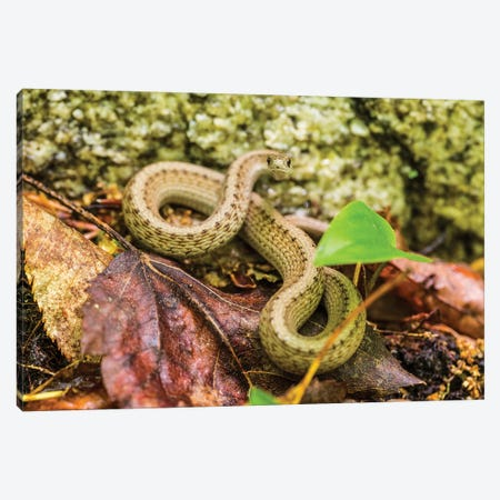 Brown snake, Storeria dekayi dekayi. Barrington, New Hampshire. 3-Piece Canvas #JMM2} by Jerry & Marcy Monkman Art Print