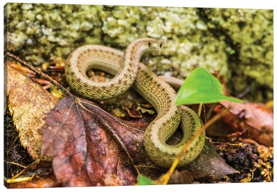 Brown snake, Storeria dekayi dekayi. Barrington, New Hampshire. Canvas Art Print