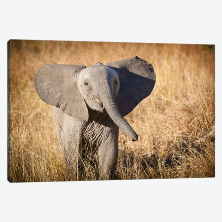 Londolozi Game Reserve, South Africa. Young Bush Elephant. Canvas Print #JMU2} by Janet Muir Canvas Art