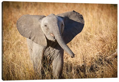 Londolozi Game Reserve, South Africa. Young Bush Elephant. Canvas Art Print
