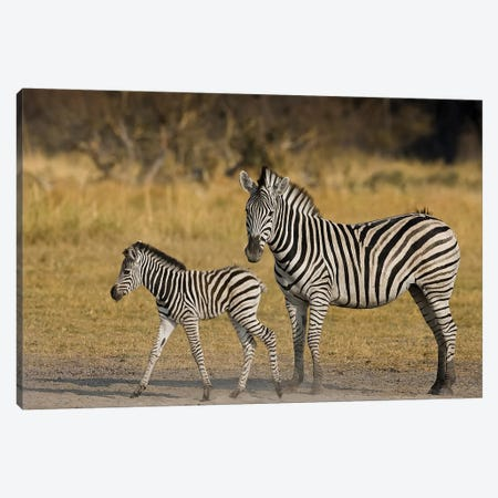 Okavango Delta, Botswana. Plains Zebra, Mother And Child. Canvas Print #JMU3} by Janet Muir Canvas Artwork