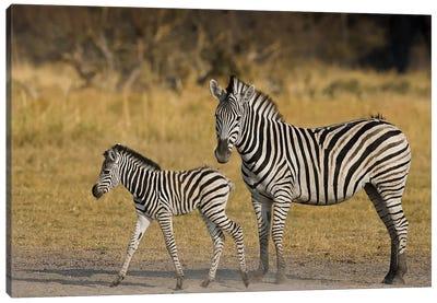 Okavango Delta, Botswana. Plains Zebra, Mother And Child. Canvas Art Print