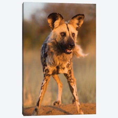Hyena Stare Canvas Print #JMZ11} by Jimmyz Canvas Artwork