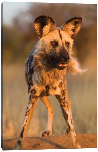 Hyena Stare Canvas Art Print