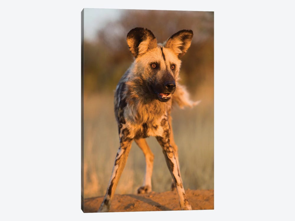 Hyena Stare by Jimmyz 1-piece Canvas Art Print