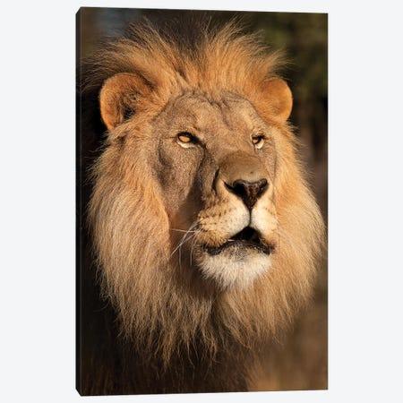 Lion at Sunset Canvas Print #JMZ14} by Jimmyz Canvas Print
