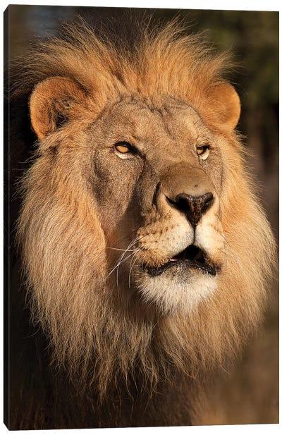 Lion at Sunset Canvas Art Print