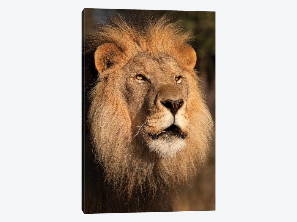 Lion at Sunset by Jimmyz 1-piece Canvas Art