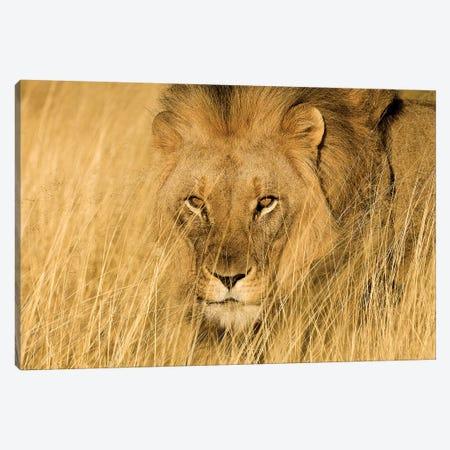 Lion Eyes Canvas Print #JMZ15} by Jimmyz Canvas Print