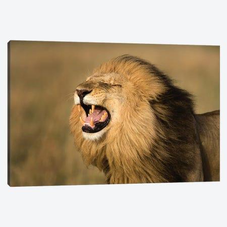 Lion Roar Canvas Print #JMZ16} by Jimmyz Art Print