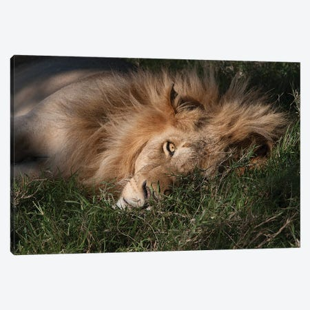Sleeping Lion Canvas Print #JMZ18} by Jimmyz Canvas Art