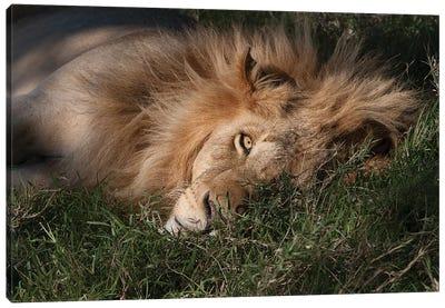 Sleeping Lion Canvas Art Print