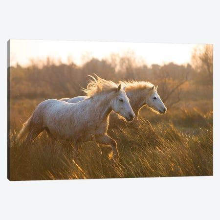 Two Horses Galloping Canvas Print #JMZ21} by Jimmyz Canvas Art Print