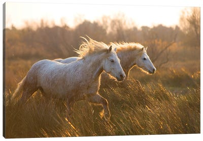 Two Horses Galloping Canvas Art Print