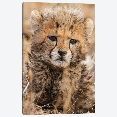 Baby Cheetah Canvas Print #JMZ2} by Jimmyz Canvas Art Print