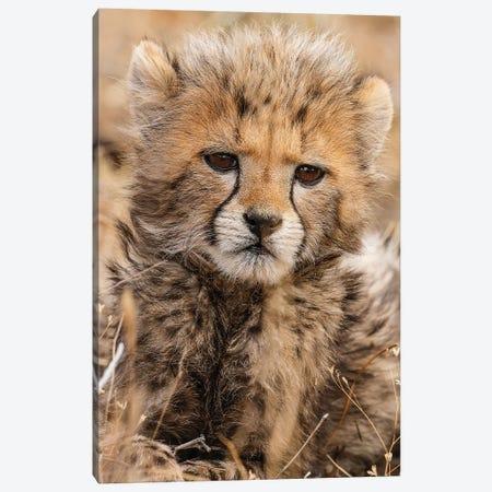 Baby Cheetah Canvas Print #JMZ2} by Jimmyz Canvas Art Print