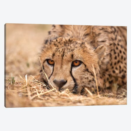 Cheetah Resting Canvas Print #JMZ3} by Jimmyz Art Print