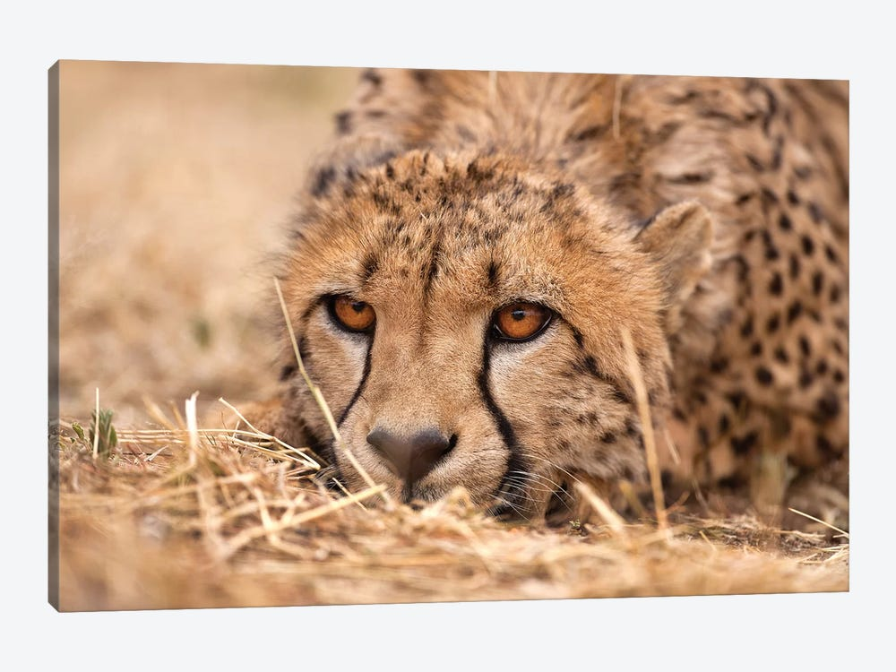 Cheetah Resting by Jimmyz 1-piece Canvas Art