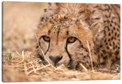 Cheetah Resting Canvas Art Print